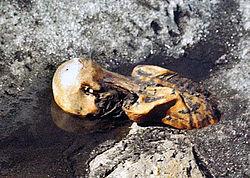 250px-oetzitheiceman-glacier-199109a
