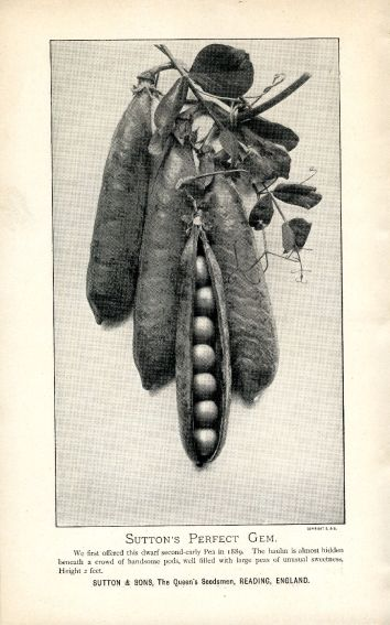 Album of Sutton's garden peas. Circa 1895