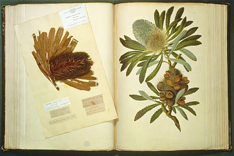 joseph-banks-and-features-the-image-above-of-one-of-the-plants-named-after-him-banksia-serrata-the-painting-by-the-artist-sydney-parkinson-and-accompanying-pressed-specimen-come-from-the