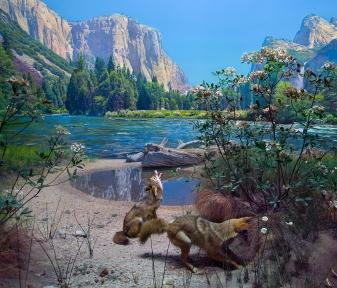 Coyote Diorama, American Natural History Museum