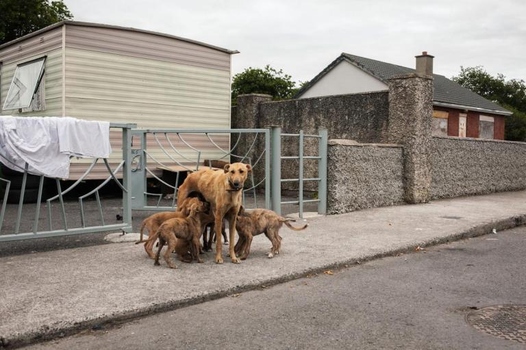 a-dog-nurses-puppies-at-a-halting-site-in-county-carlow