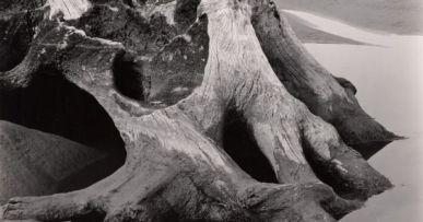 edward-weston-america-american-1886-1958-cypress-tree-root-1937-gelatin-silver-print
