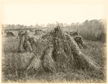 Hugh Owen ( before 1855) Harvest scene with stooks, albumen print, 1860s-1870s, from a paper negative, 17.2 x 22.3 cm