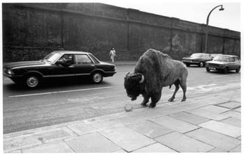 Fay Godwin (1981) Bison at Chalk Farm