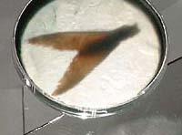 bakterium_dok_beli