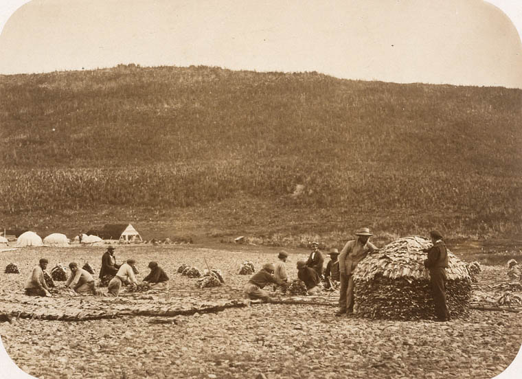 Paul-Émile Miot Preparation of the cod [Cape Rouge, Newfoundland] 1857-1859 Albumen print Library and Archives Canada