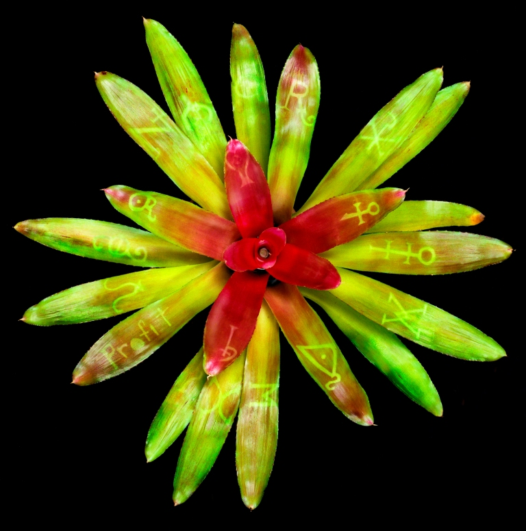 Cause and effect - Various Alchemic symbols - 1996 - on Neoregelia plant - Lloyd Godman  A photosynthetic image grown into the tissue of a Bromeliad plant.jpg