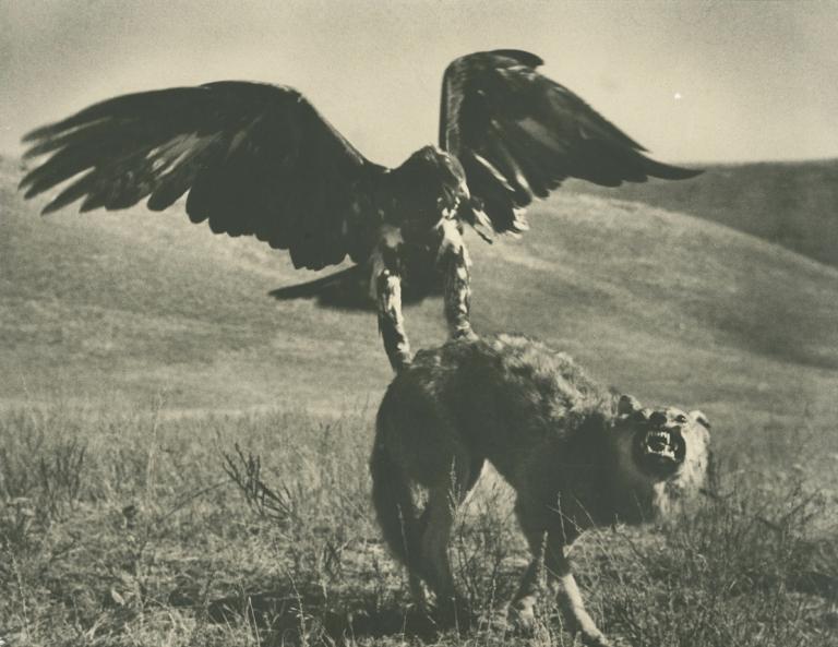 Max Alpert Hunting with Golden Eagle, Kazakhstan Gelatin silver print 23.5 x 30 cm.