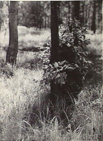 Max Dupain (Nov 6, 1944) Wongabel, Qld; a student crouched behind a tree during a course at headquarters on concealment and deception. Picture: AWM