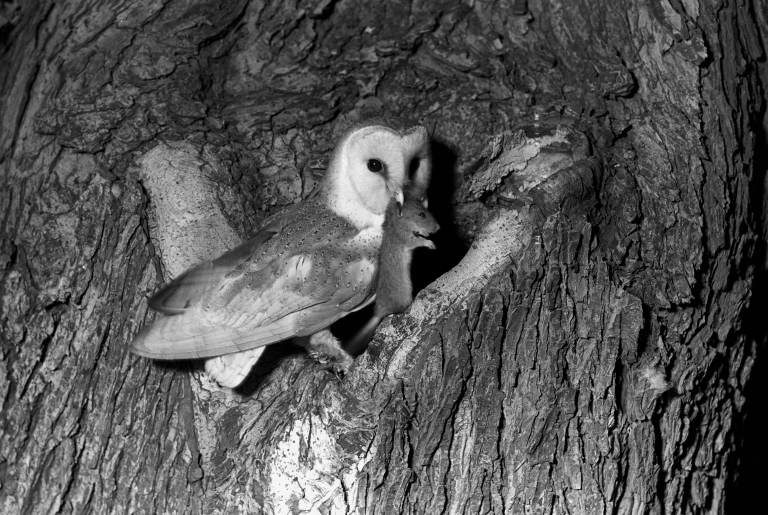 Barn owl taken with a flash bulb 1936. Eyke Suffolk by Eric Hosking