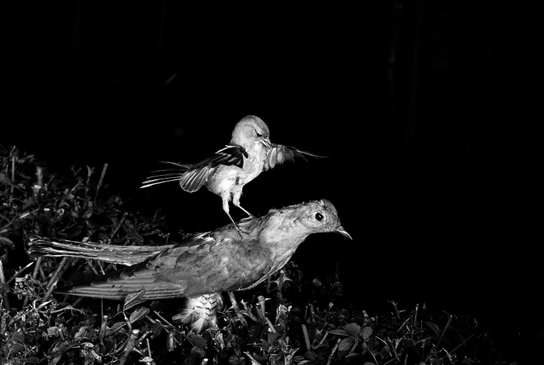 Chaffinch attacking a stuffed Cuckoo Staverton 1948. Photographed by Eric Hosking using a High Speed Flash unit to stop movement.