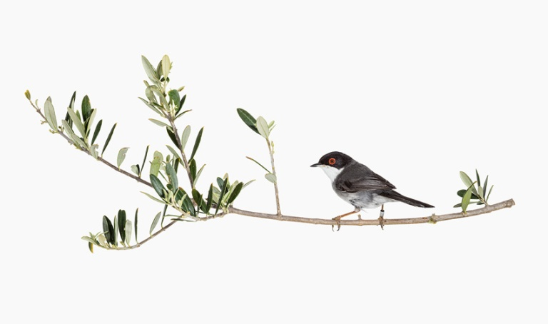Sylvia melanocephala, 2017 pigment ink-print 102 × 172cm | 61 × 98 cm