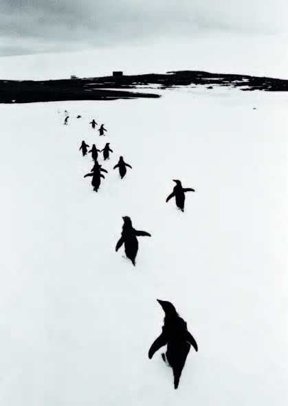 Thomas Hoepker 'Penguins in the Argentinean Antarctica walking away from me into the sunset', 1954