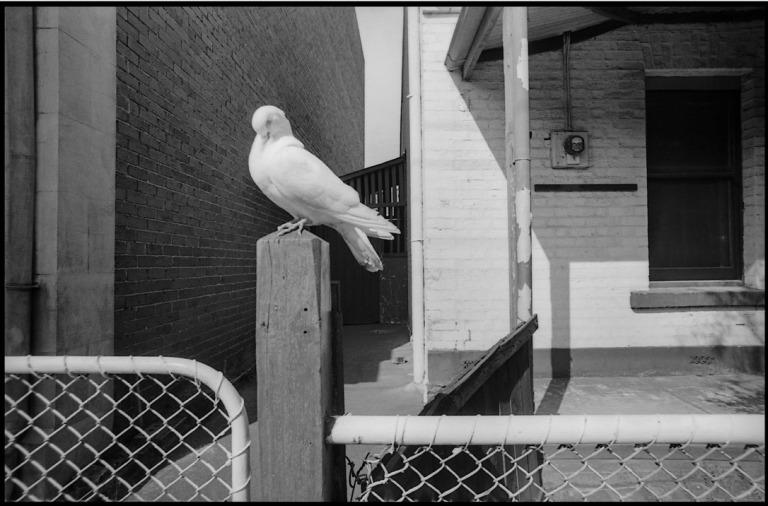 Pidgeon 1972 Jon Conte