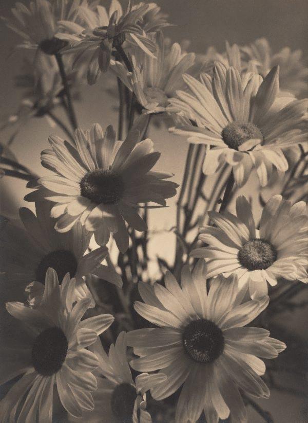 Shasta Daisies 1937