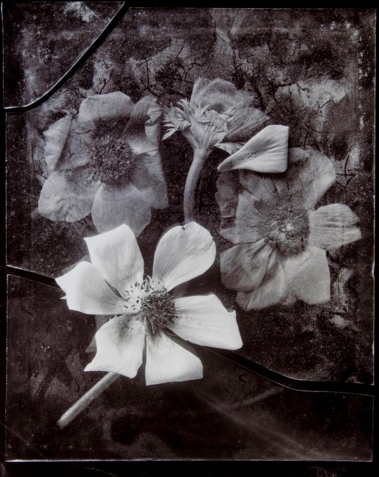 Blakemore, John, Anemone No. 2, 1982